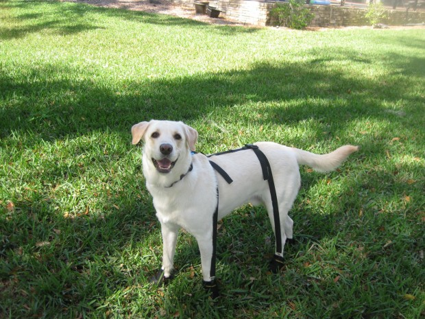 Dog suspenders and dog boots for senior dogs
